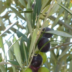 Close up of Manzanillo variety olives ripening from green, to blush, to black. Photo by Mike Imwalle