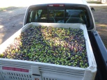 Approximately 1000 pounds of Manzanillo variety olives ready to be delivered to the mill. Photo by Mike Imwalle.