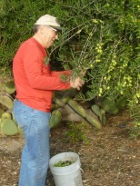 SBTHP Executive Director Jarrell Jackman picking Manzanillo olives. Photo by Mike Imwalle.