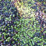 ¡Muchos olivos! Approximately 1000 pound of Manzanillo variety olives. Photo by Mike Imwalle.