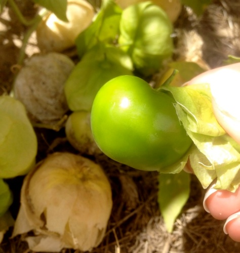These tomatillos were picked fresh from the Presidio Heritage Gardens where they grew like weeds! Photo by Brittany Avila.