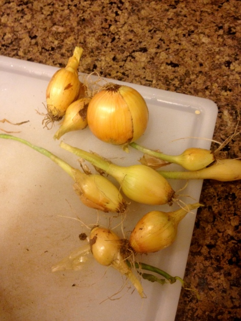 Onions from once again…El Presidio Heritage Gardens! Photo by Brittany Avila.