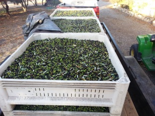 Olives on their way to be crushed. Photo by Wayne Sherman.