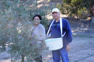 SBTHP board member Rich Rojas and his wife Ophelia picking olives. Photo by Michael Imwalle.