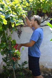 Gabe Smith inspecting the Presidio heritage grapes. Photo by Michael Imwalle.