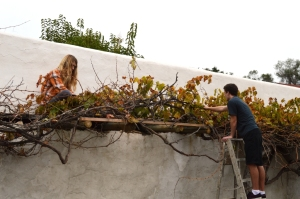 Sam and Timmy pruning foliage from the Mission Grape.