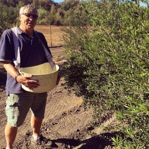 SBTHP Executive Director Jerry Jackman picking olives at the Santa Ines Mission Mills.