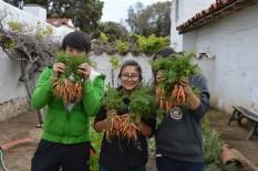 Harvesting carrots.