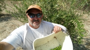 Mike Imwalle with olives destined for brining.  Photo by Mike Imwalle.