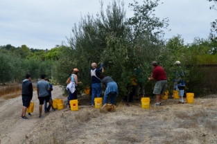 At least twelve volunteers attacking one loaded Manzanillo tree! Photo by Mike Imwalle.