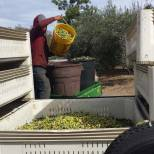 Professional pickers dumping fruit into bins for transport to Figueroa Farms. Photo by Leanne Haslouer.